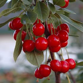 Fruit Tree Photo