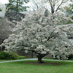 Flowering Tree Photo