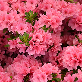 Rhododendron and Azalea Photo