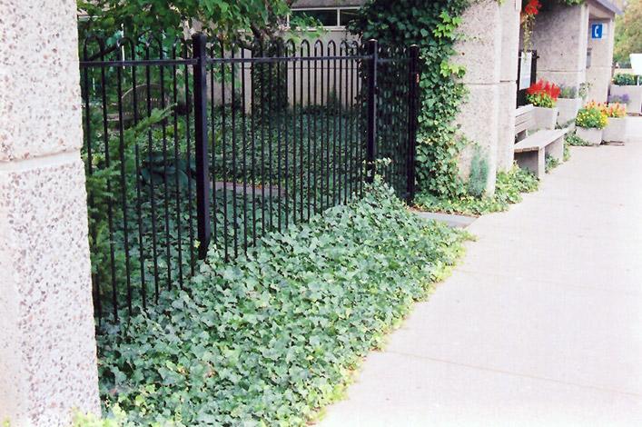 English Ivy (Hedera helix) at Superior Garden Center