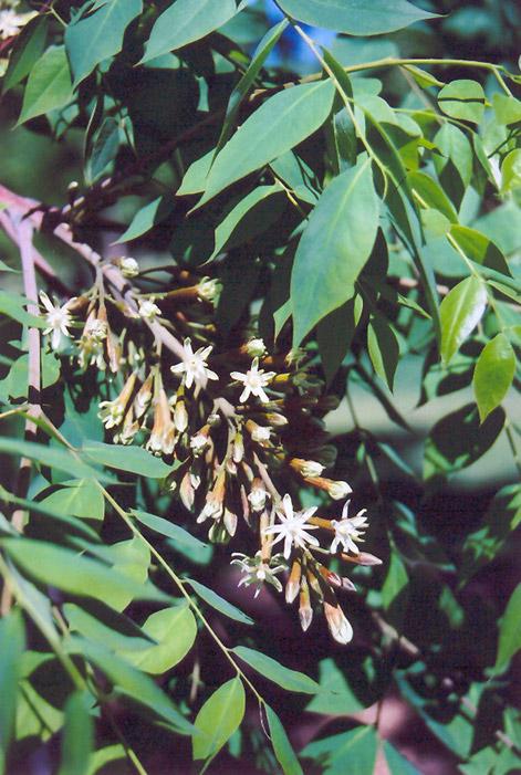 Kentucky Coffeetree (Gymnocladus dioicus) at Superior Garden Center