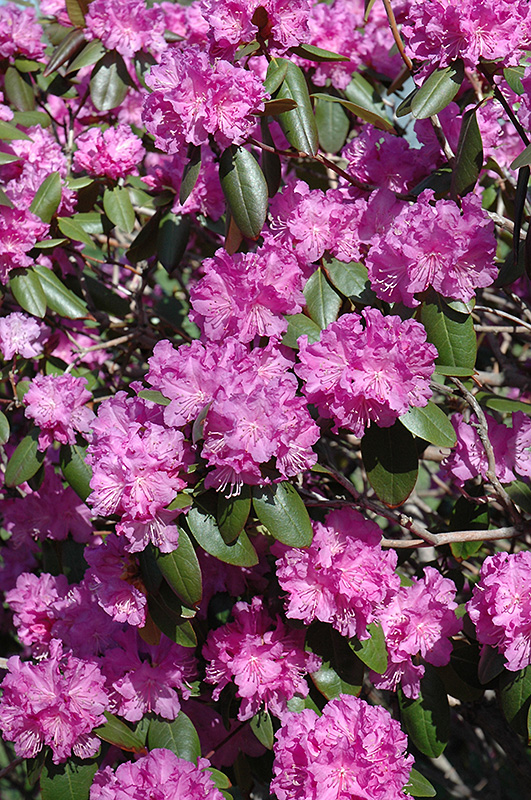 P.J.M. Rhododendron (Rhododendron 'P.J.M.') at Superior Garden Center