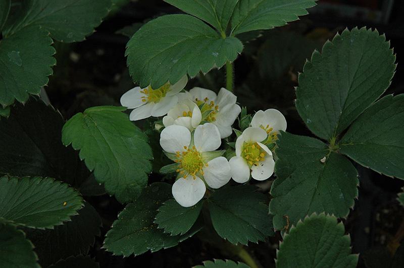 Honeoye Strawberry (Fragaria 'Honeoye') at Superior Garden Center