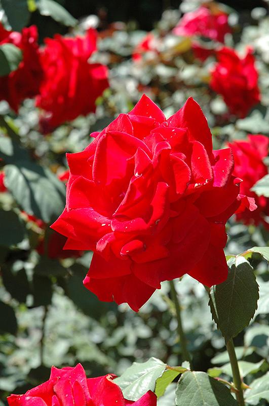 Chrysler Imperial Rose (Rosa 'Chrysler Imperial') at Superior Garden Center