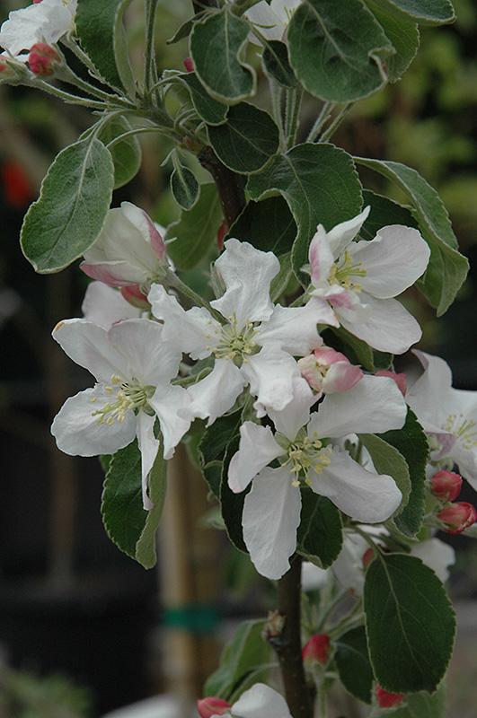 Granny Smith Apple (Malus 'Granny Smith') at Superior Garden Center