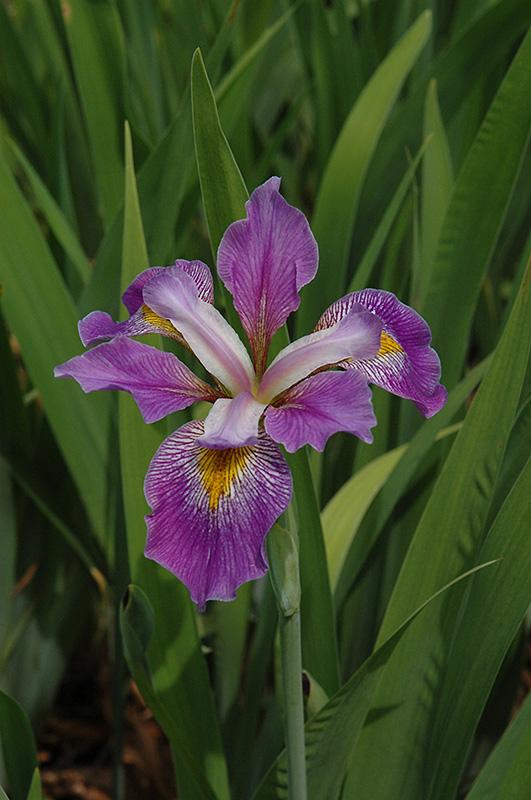 Southern Blue Flag Iris (Iris virginica) at Superior Garden Center