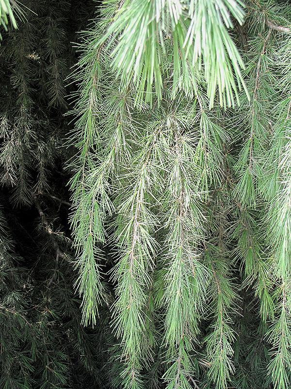 Kashmir Deodar Cedar (Cedrus deodara 'Kashmir') at Superior Garden Center