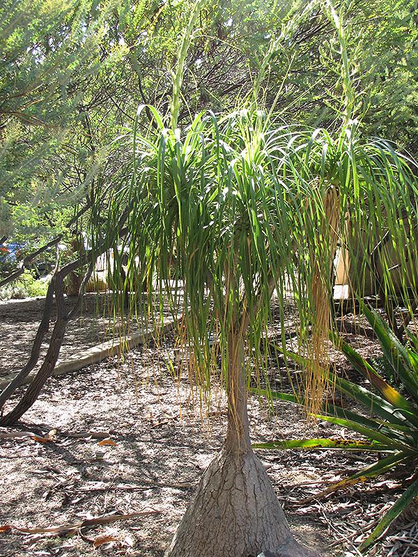 Pony Tail Palm (Beaucarnea recurvata) at Superior Garden Center