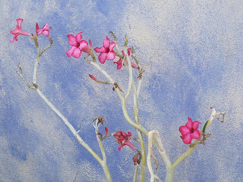 Desert Rose (Adenium obesum) at Superior Garden Center