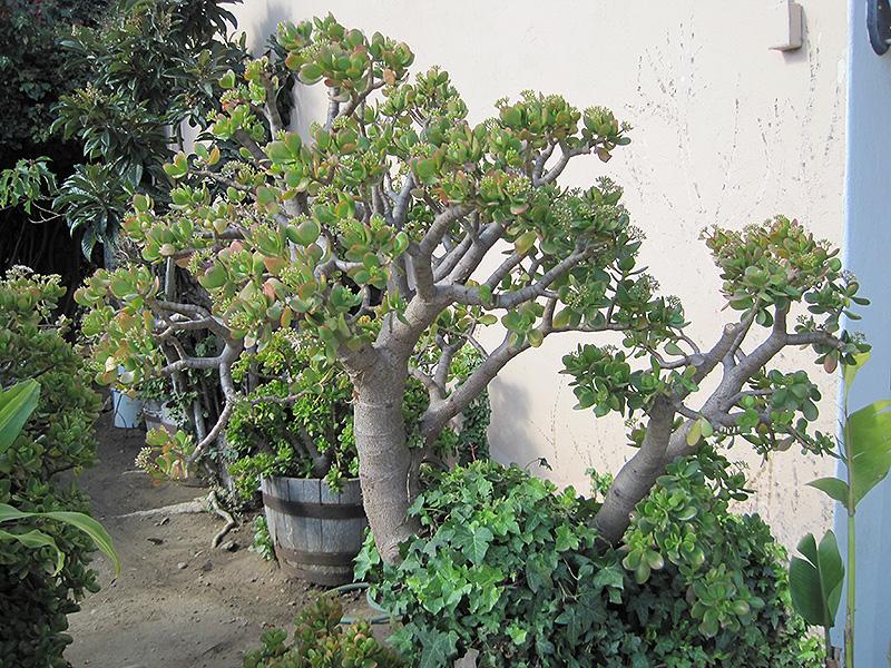 Jade Plant (Crassula ovata) at Superior Garden Center
