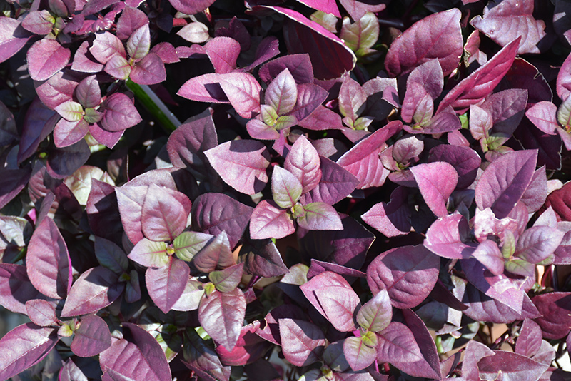 Purple Prince Alternanthera (Alternanthera brasiliana 'Purple Prince') at Superior Garden Center