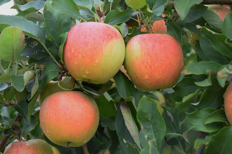 Gala Apple (Malus 'Gala') at Superior Garden Center