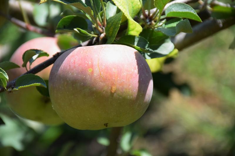 Fuji Apple (Malus 'Fuji') at Superior Garden Center
