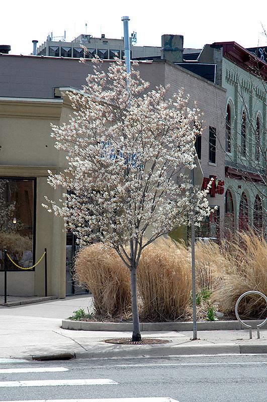 Autumn Brilliance Serviceberry (Amelanchier x grandiflora 'Autumn Brilliance (tree form)') at Superior Garden Center