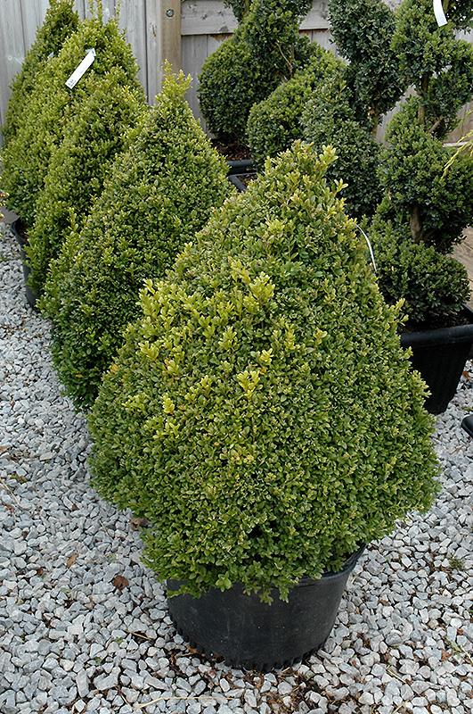 Green Mountain Boxwood (pyramid form) (Buxus 'Green Mountain (pyramid)') at Superior Garden Center