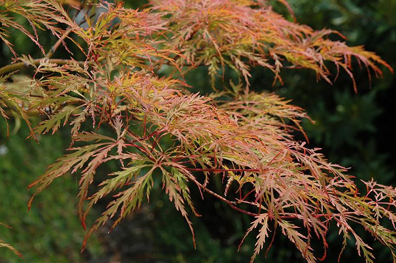 Baldsmith Japanese Maple (Acer palmatum 'Baldsmith') at Superior Garden Center