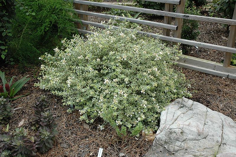 Radiance Abelia (Abelia x grandiflora 'Radiance') at Superior Garden Center
