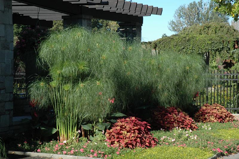 King Tut Egyptian Papyrus (Cyperus papyrus 'King Tut') at Superior Garden Center