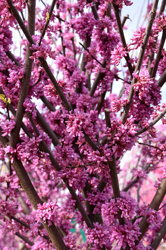 Alley Cat Redbud (Cercis canadensis 'Alley Cat') at Superior Garden Center