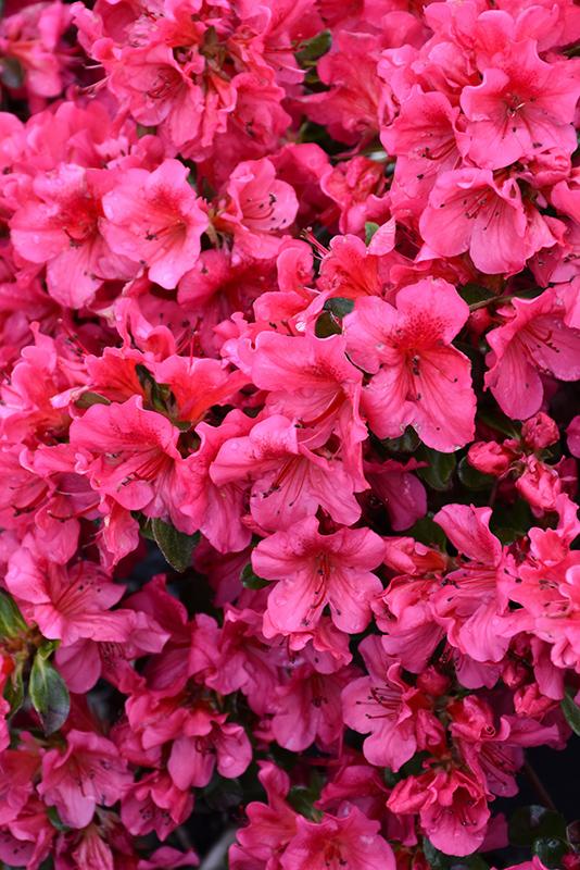 Girard's Crimson Azalea (Rhododendron 'Girard's Crimson') at Superior Garden Center