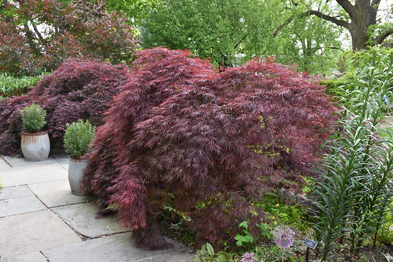 Crimson Queen Japanese Maple (Acer palmatum 'Crimson Queen') at Superior Garden Center