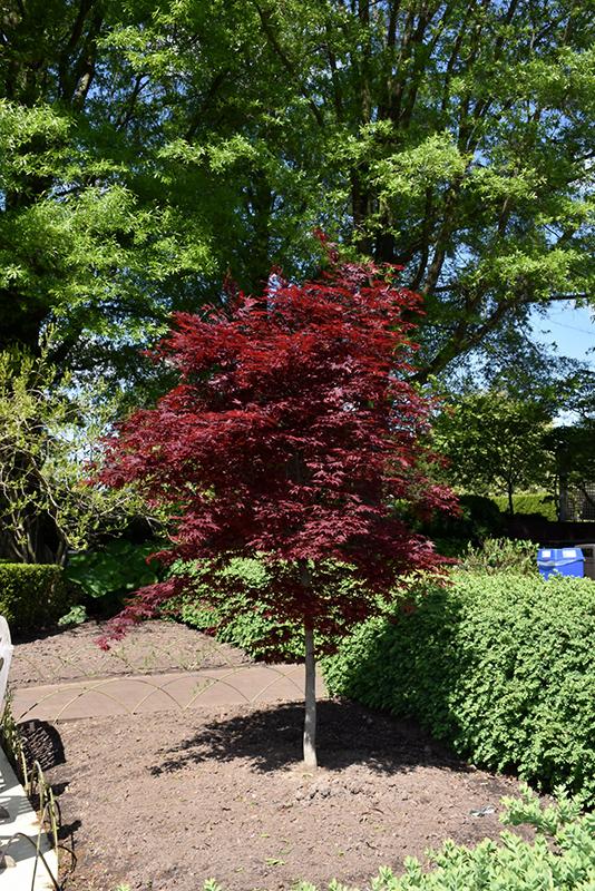 Fireglow Japanese Maple (Acer palmatum 'Fireglow') at Superior Garden Center