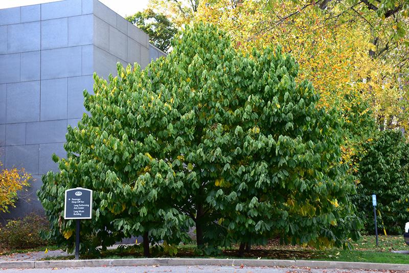 Common Paw Paw (Asimina triloba) at Superior Garden Center