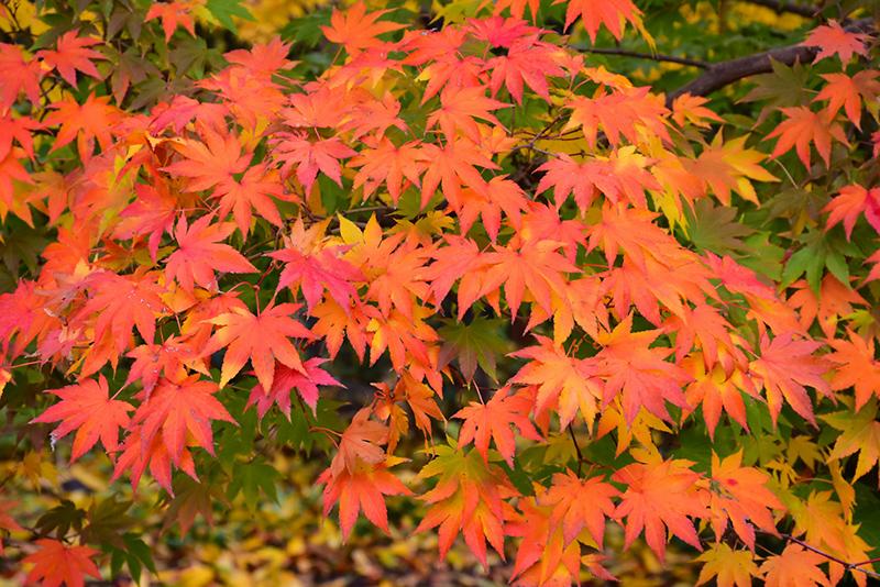 Japanese Maple (Acer palmatum) at Superior Garden Center