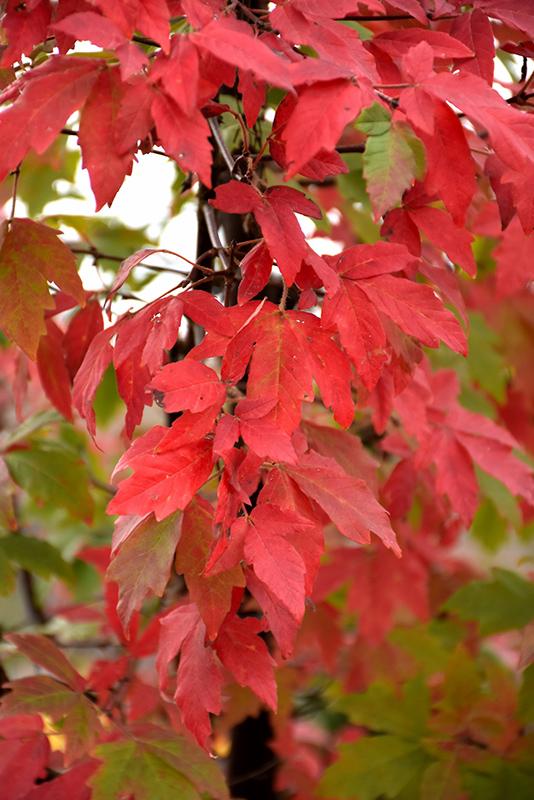 Paperbark Maple (Acer griseum) at Superior Garden Center