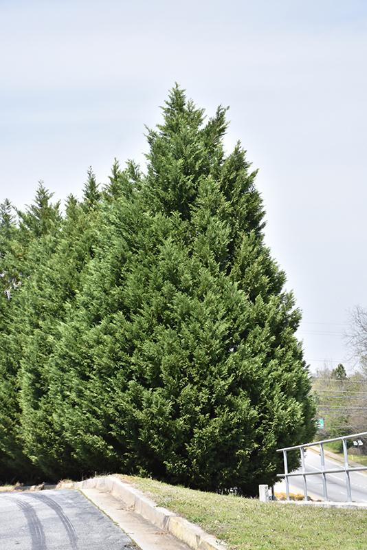 Leyland Cypress (Cupressocyparis x leylandii) at Superior Garden Center