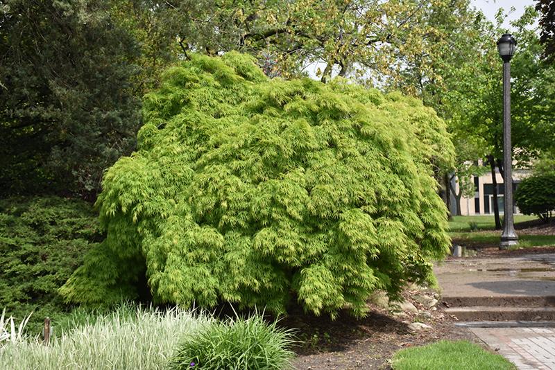 Cutleaf Japanese Maple (Acer palmatum 'Dissectum Viridis') at Superior Garden Center