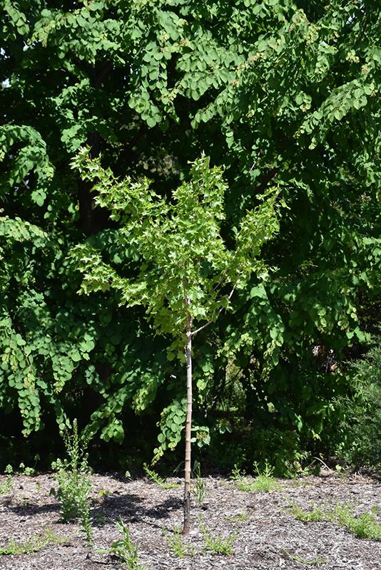 Ruby Sunset Maple (Acer 'JFS-KW249') at Superior Garden Center