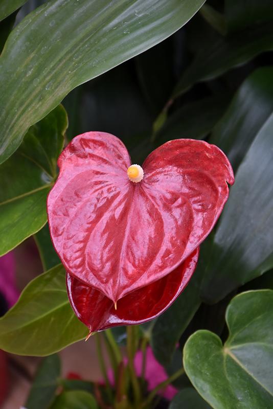Anthurium (Anthurium andraeanum) at Superior Garden Center