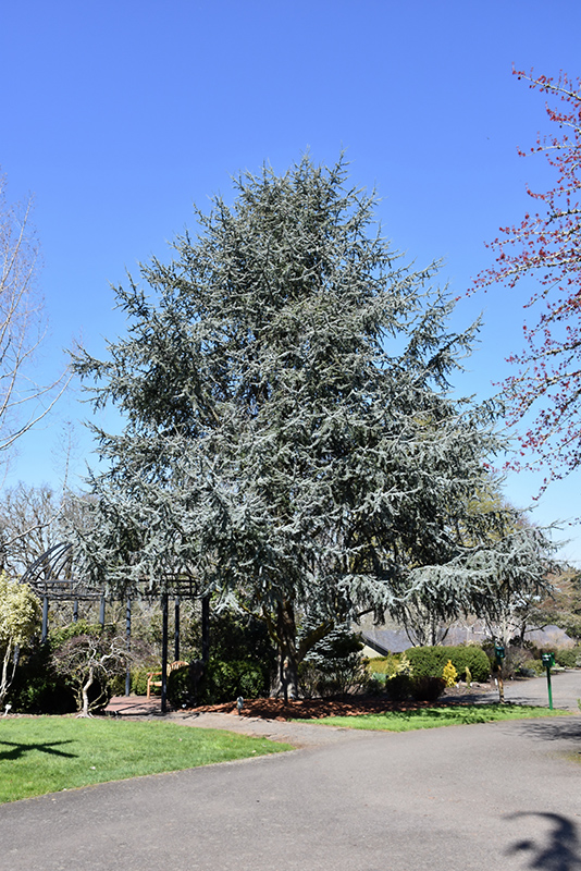 Blue Atlas Cedar (Cedrus atlantica 'Glauca') at Superior Garden Center
