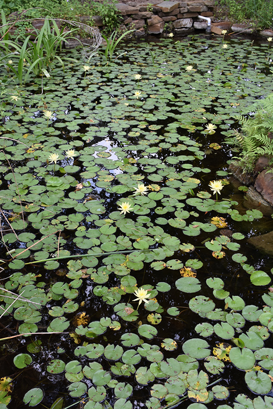 Yellow Water Lily (Nymphaea mexicana) at Superior Garden Center