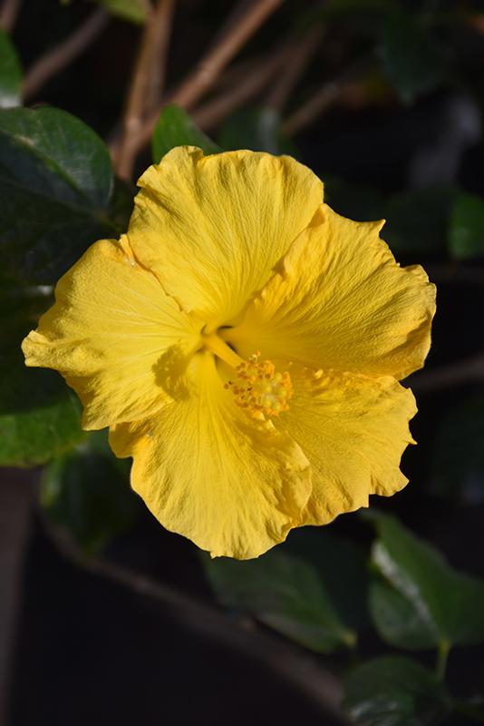 Yellow Hibiscus (Hibiscus rosa-sinensis 'Yellow') at Superior Garden Center