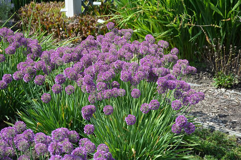 Lavender Bubbles Ornamental Onion (Allium 'Lavender Bubbles') at Superior Garden Center