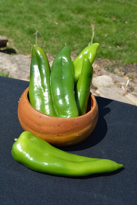 Biggie Chile Pepper (Capsicum annuum 'Biggie Chile') at Superior Garden Center