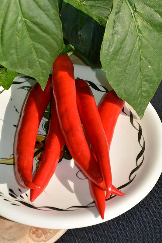 Garden Salsa Hot Pepper (Capsicum annuum 'Garden Salsa') at Superior Garden Center