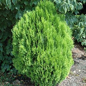 Evergreen Shrub Photo