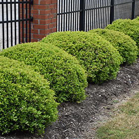 Hedge Shrub Photo